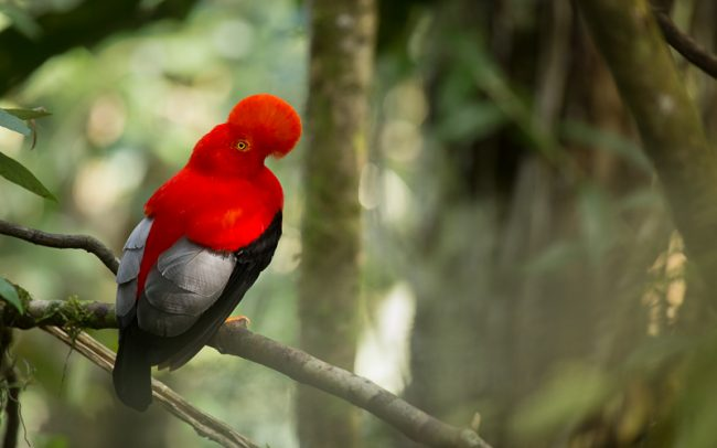 Andean Cock of the Rock (Rupicola peruvianus) perched on a branch in the rainforest of Cali, Colombia