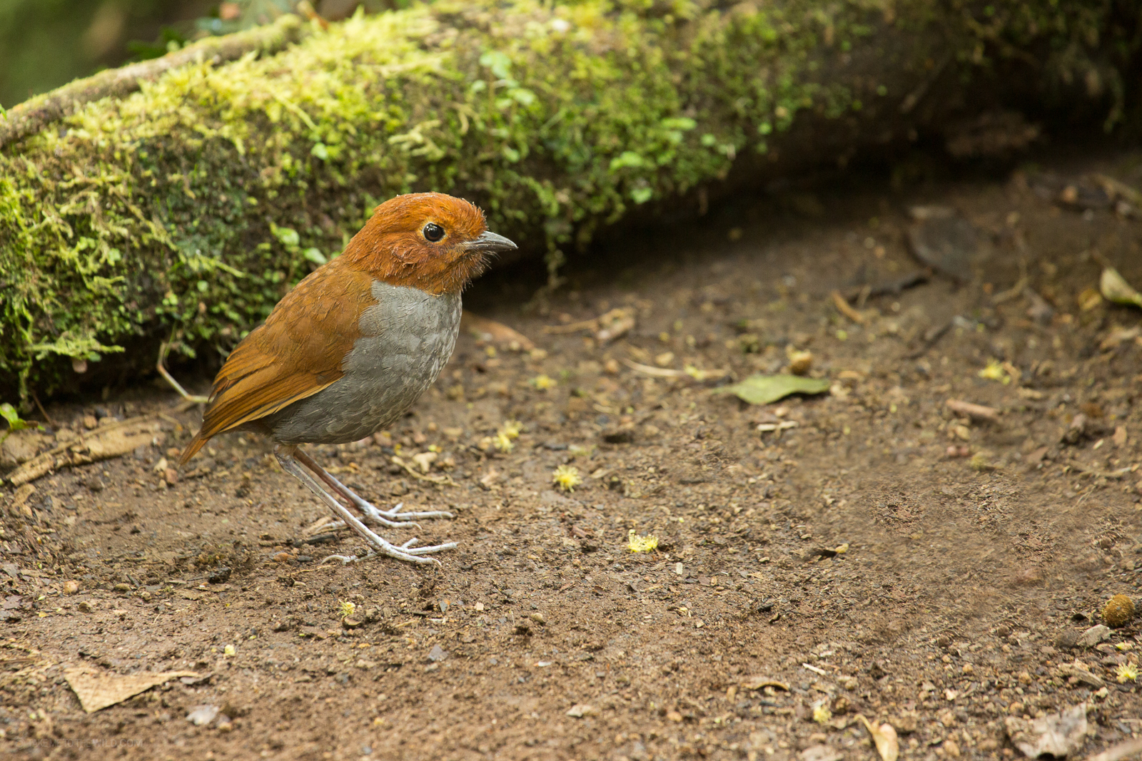 Bicolored Antpitta (Grallaria rufocinerea) perched on the ground at Manizales, Colombia