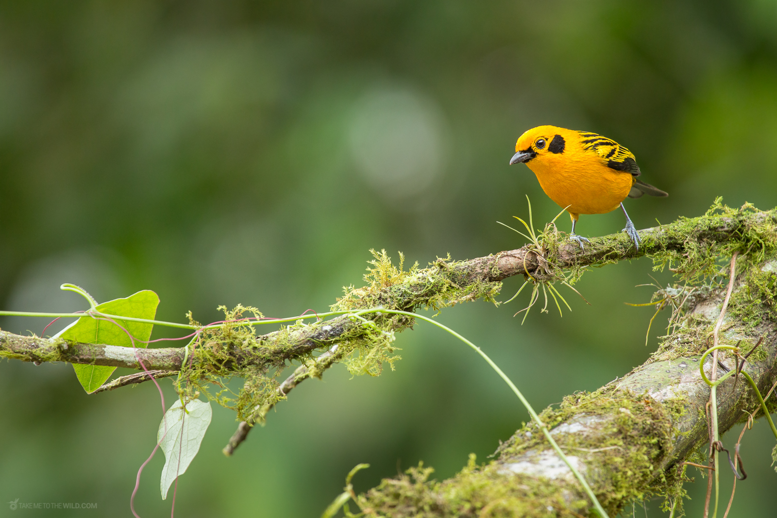 Chestnut Breasted Tanager (Tangara arthus) perched on a branch at Cali, Colombia