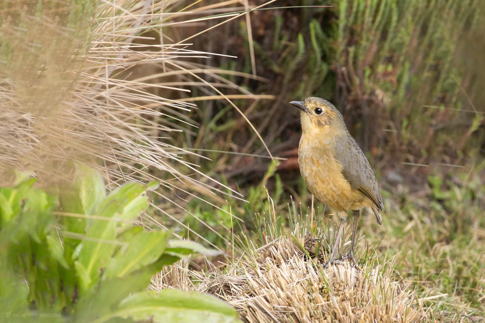 Tawny antpitta (Grallaria quitensis) calling from the ground at the highlands of Colombia, Manizales