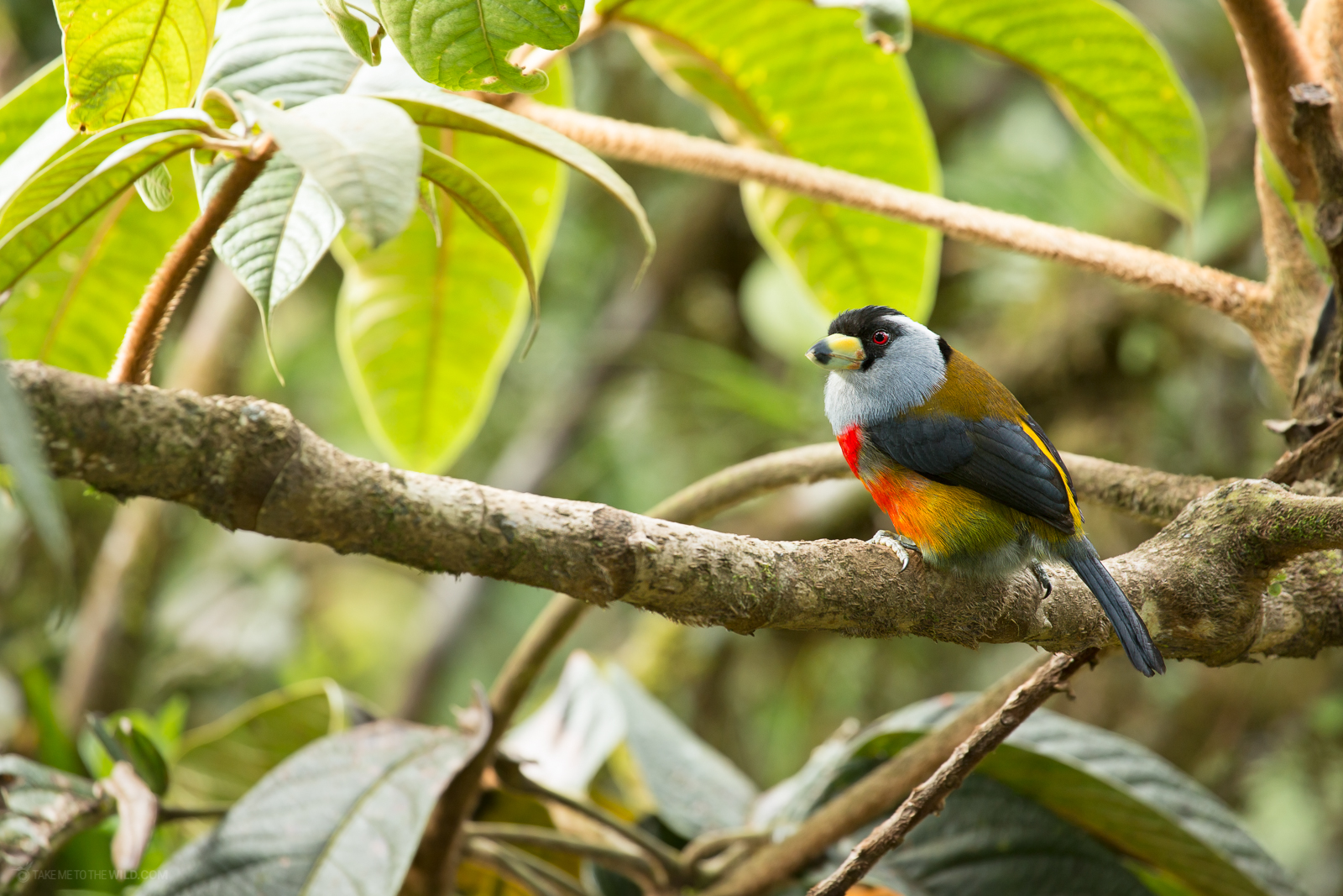 Toucan Barbet (semnornis ramphastinus) perched on a branch at the rainforest of Cali, Colombia