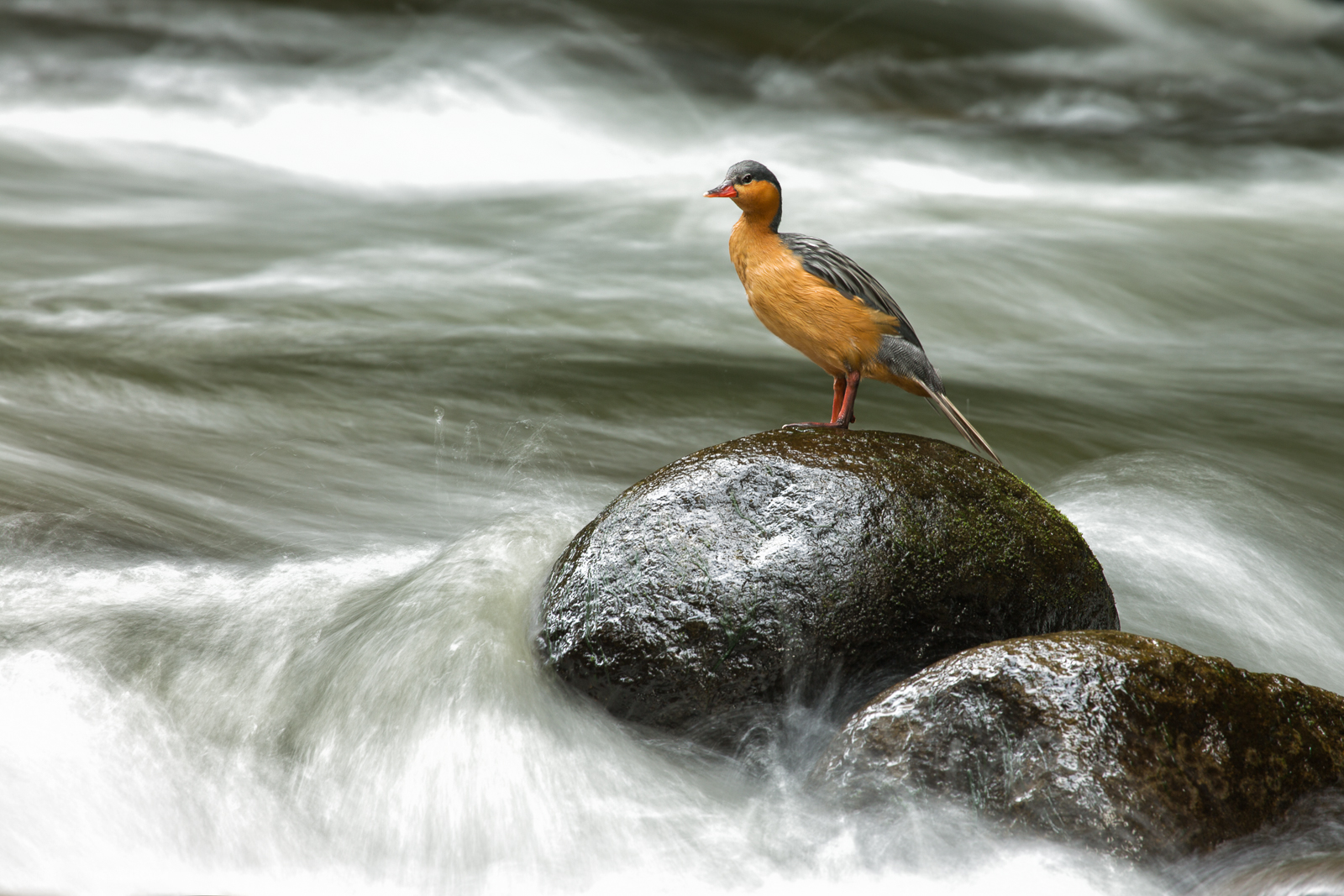 Torrent duck (Merganetta armata) female resting on a rock at Pereira, Colombia