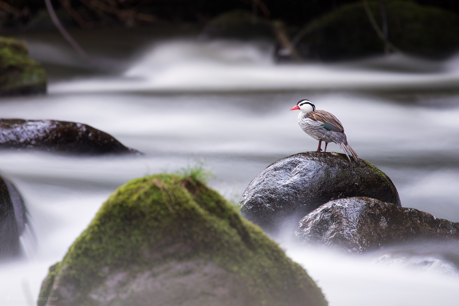 Torrent duck (Merganetta armata) male standing over a rock in the last hours of the day at the highlands of Colombia